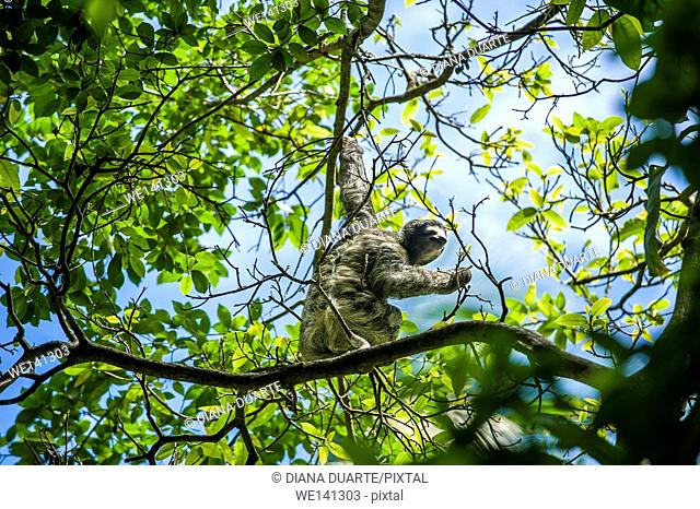 """""""""""Pygmy three-toed sloth"""" (Bradypus pygmaeus), The sloth is a slow moving animal, and their long claws are the only form of defence that the sloth has"