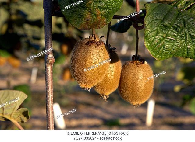 Kiwi on a tree LLeida Spain