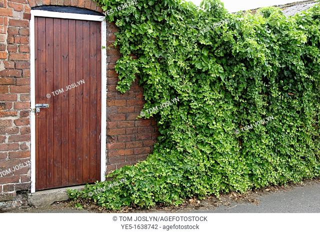 Entrance to walled garden with ivy covered wall, England, UK