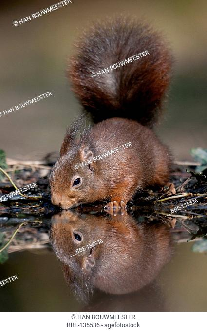 Water drinking Red Squirrel