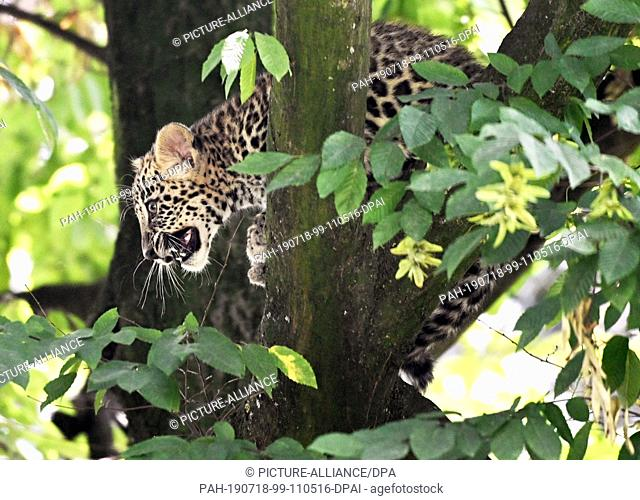 18 July 2019, North Rhine-Westphalia, Cologne: A young leopard sits in a tree in an enclosure at Cologne Zoo. On 3 April 2019 two kittens, Nikan and Banu