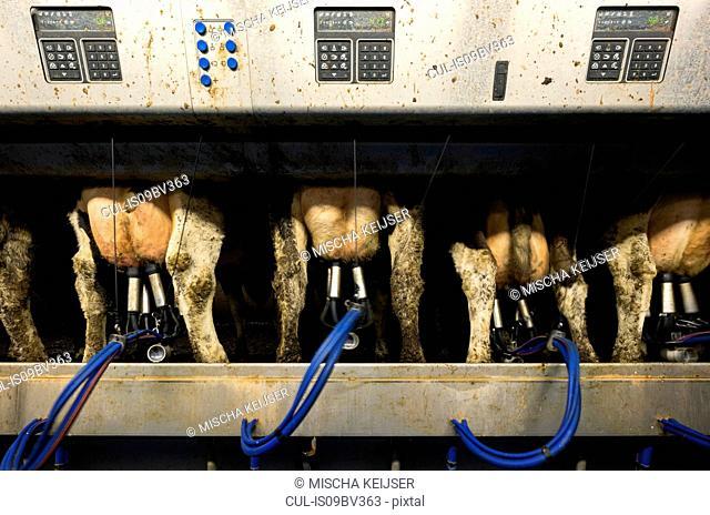 Cows being milked in modern milking machine, Wyns, Friesland, Netherlands