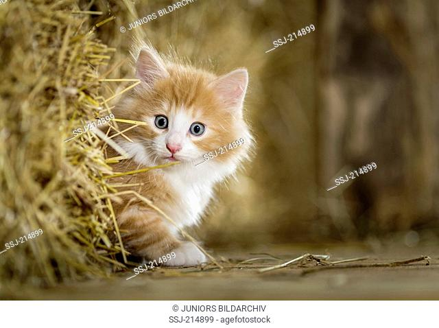 Norwegian Forest Cat. Kitten looking out from behind a bale of straw in a barn. Germany