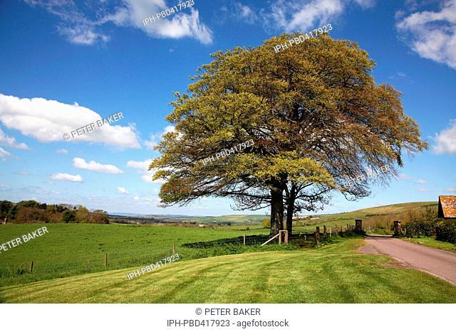 A fine tree in it's springtime colours on the edge of the tiny village of Little Bredy
