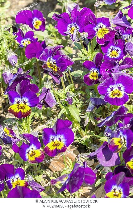Pansy / Viola cornuta Sorbet 'Purple'