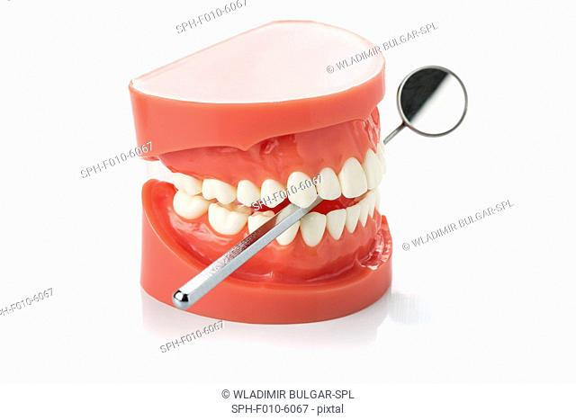Model of the human jaw with dental mirror