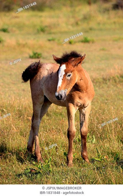 Camargue horse (Equus caballus), foal, Saintes-Marie-de-la-Mer, Camargue, France, Europe