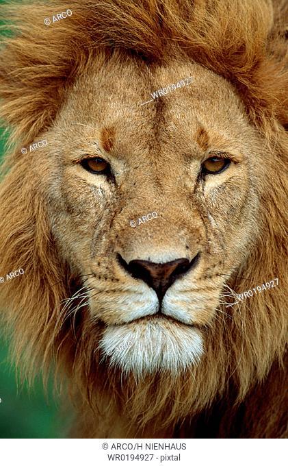 African, Lion, male, Massai, Mara, Game, Reserve, Kenya, Panthera, leo