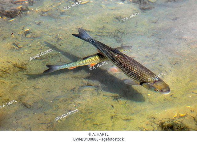 chub (Leuciscus cephalus), swim in shallow water, Germany, Bavaria, Riemer See