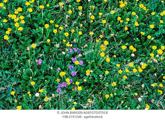 Alpine avens (yellow), alpine forget-me nots (blue) and American bistort (white) bloom in tundra meadow, Beartooth Plateau, Beartooth Mountains