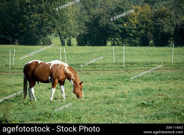 Beautiful red / brown painthorse enjoying grazing in the morning sun