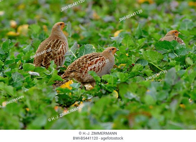 grey partridge (Perdix perdix), three partriges on a field, Germany, Rhineland-Palatinate