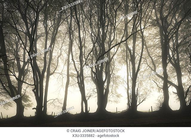 Trees in a misty autumn morning at Drove Road in the Quantock Hills near Crowcombe, Somerset, England