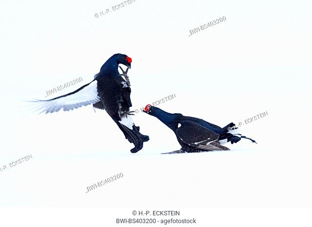 black grouse (Lyrurus tetrix, Tetrao tetrix), two fighting blackcocks in snow, Sweden, Orsa Finnmark