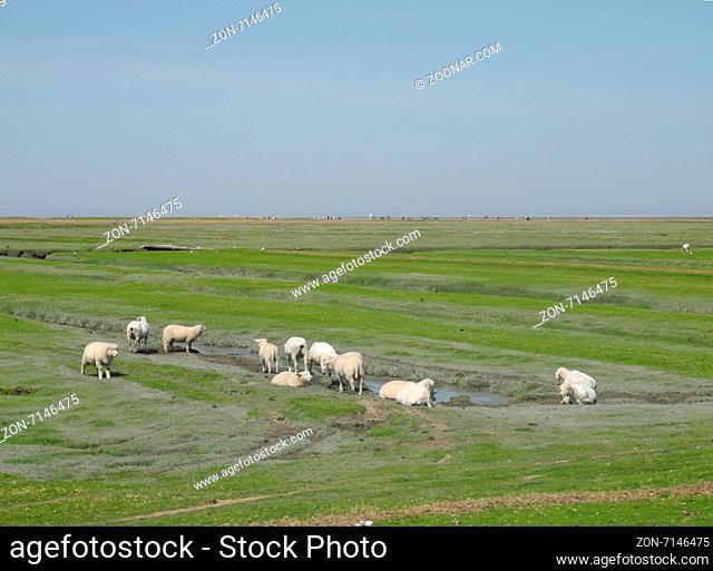 schaf, nordsee, norddeutschland, tier, grasen, grasend, wiese, weide, gras, schafsweide, marschland, westerhever, westerheversand, deichvorland