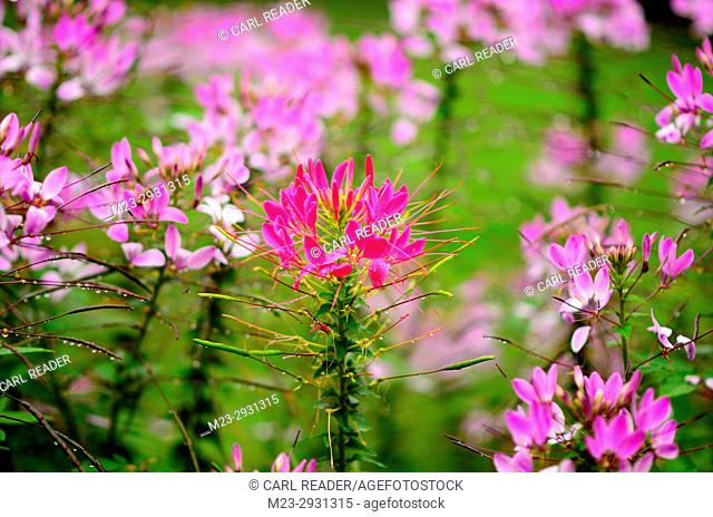 A different color cleome lets its individuality known, Pennsylvania, USA