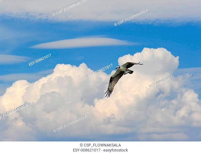 Osprey Flying in Clouds with Fish