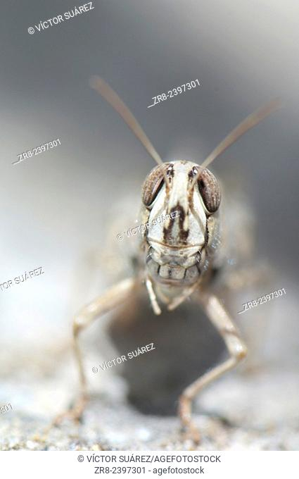 Grasshopper. Pajonales. Integral Natural Reserve of Inagua. Tejeda. Gran Canaria. Canary Islands. Spain