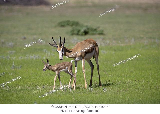 Springbok (Antidorcas marsupialis) - Mother and lamb, Kgalagadi Transfrontier Park in rainy season, Kalahari Desert, South Africa/Botswana