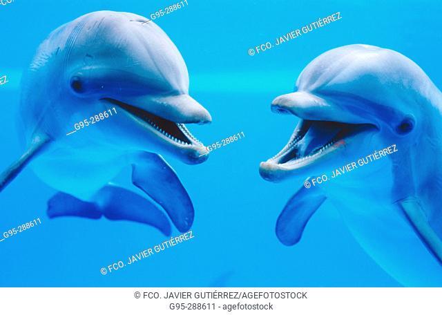 Bottlenose Dolphin (Tursiops truncatus) in captivity