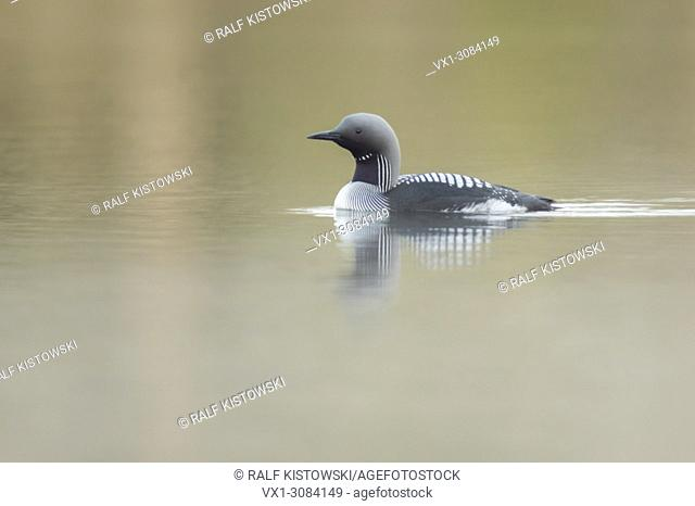 Black-throated Loon / Arctic Loon ( Gavia arctica ), breeding dress, swimming on a calm lake, Sweden, Scandinavia