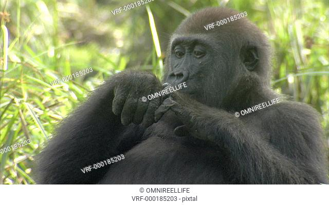 Western Lowland Gorilla sitting on forest floor surrounded by long grass