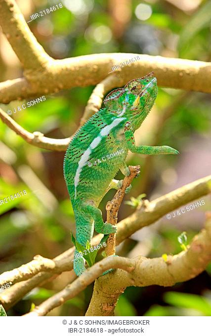 Oustalet's or Malagasy Giant Chameleon (Furcifer oustaleti), female, foraging, Madagascar, Africa