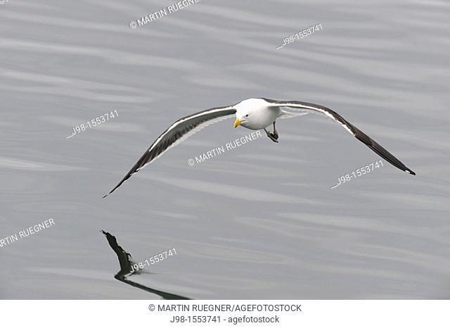 Kelp Gull / Southern Black-backed Gull Larus dominicanus flying  Ushuaia, Tierra Del Fuego, Argentina, South America