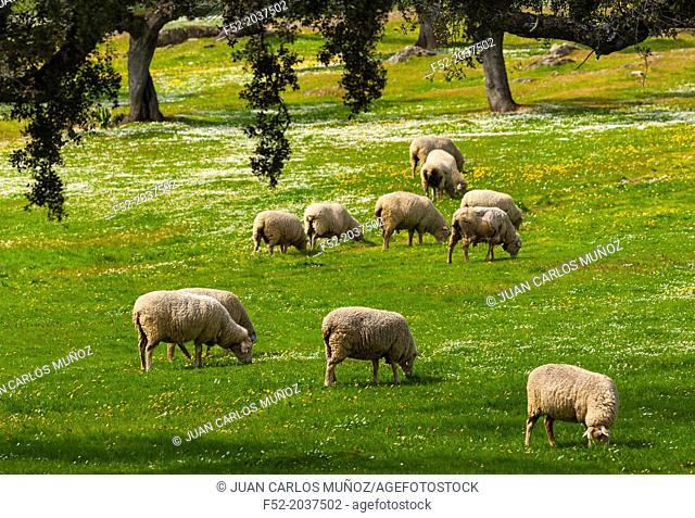 Sheep Ovis aries, Holm Oak or Holly Oak forest Quercus ilex, Monfragüe National Park, Cáceres, Extremadura, Spain, Europe