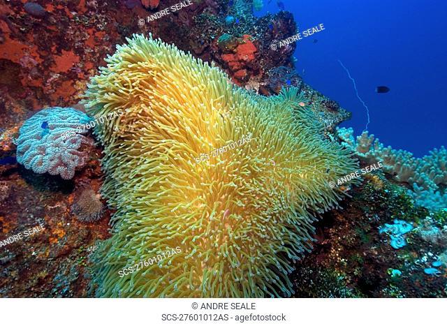Gigantic sea anemone, Stichodactyla gigantea, hosting pink anemonefish, Amphiprion periderion, Fujikawa Maru, Truk lagoon, Chuuk, Federated States of Micronesia
