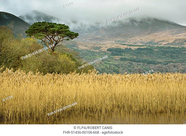 Common Reed (Phragmites australis) reedbed and pine tree, Lough Leane (Lower Lake), Lakes of Killarney, Killarney N.P., County Kerry, Munster, Ireland, December