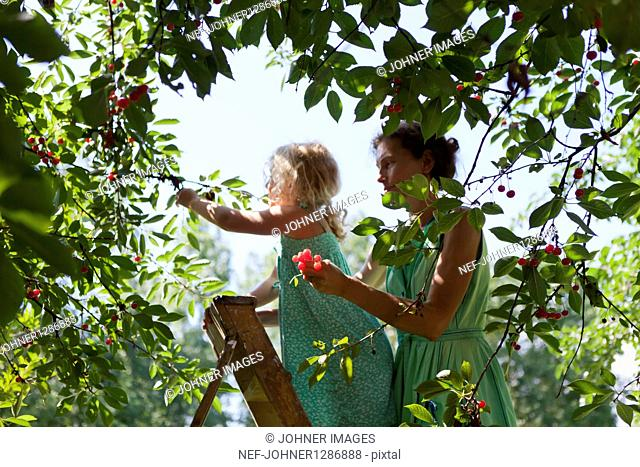 Mother and daughter picking up cherries