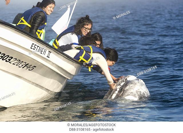 Central America, Mexico, Baja California Sur, Puerto San Carlos, Magdalena Bay (Madelaine Bay), Tourist looking at Gray Whale (Eschrichtius robustus)