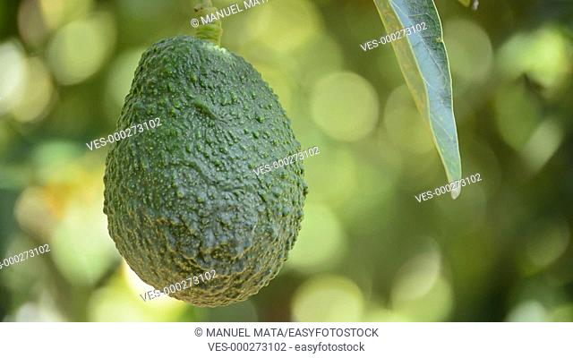 Avocado fruit hanging at branch of tree in a plantation