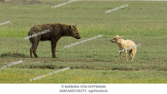 Golden Jackal boldly keeping Hyena from going to its den, Ngorongoro Crater, Tanzania