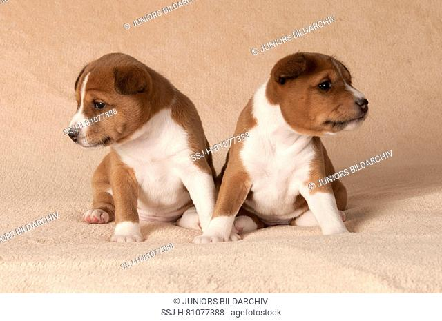 Basenji. Two puppies (4 weeks old) sitting on a blanket. Germany