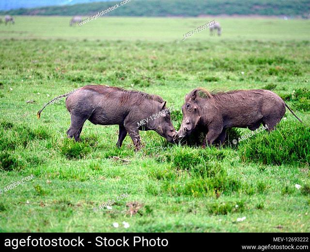 Warthogs in the Masai Mara, Kenya, Africa Warthogs in the Masai Mara, Kenya, Africa