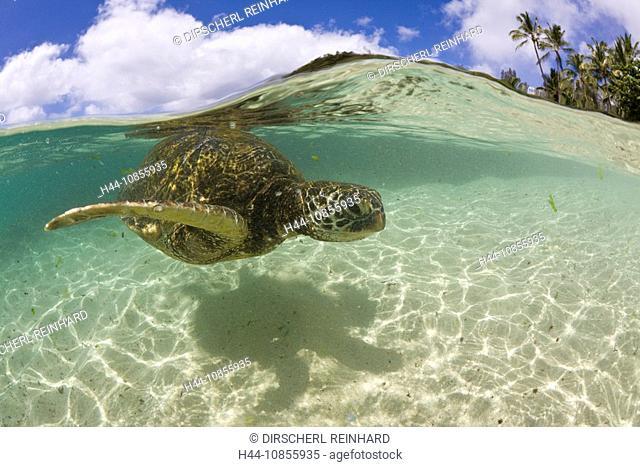10855935, Green Turtle, Underwater, half-half, Ove