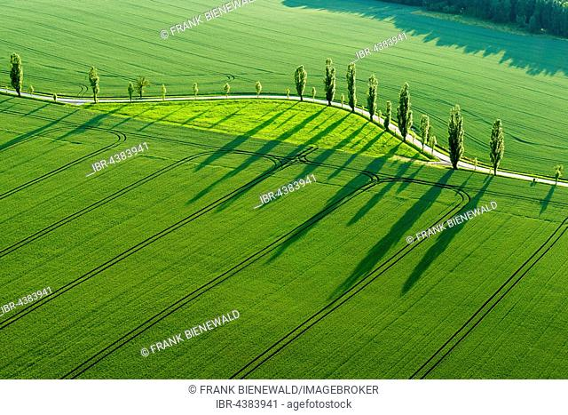 A row of Poplar trees (Populus) is creating long shadows on a green field, Königstein, Saxony, Germany