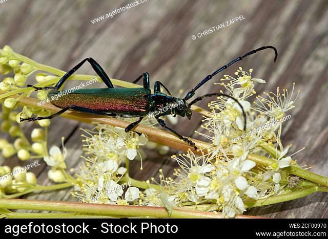 Germany, Close-up of Musk beetle (Aromia moschata) perching on blooming wildflowers