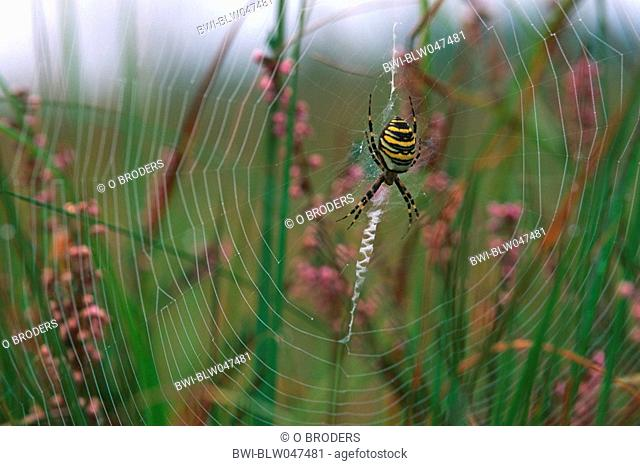 black-and-yellow argiope, black-and-yellow garden spider Argiope bruennichi, sitting in its web, Germany, Bavaria