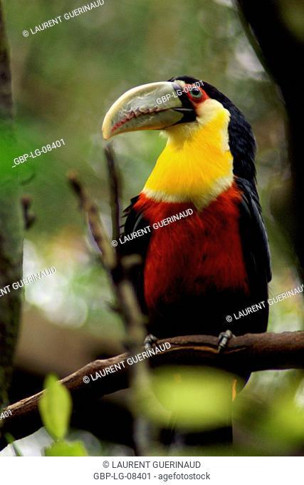 Bird, Toucan-beak-green, OiseauxFoz, Foz Iguaçu, Brazil