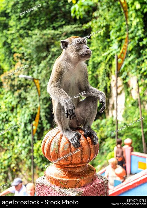 Cute Long tailed Macaque (Macaca fascicularis) monkey sitting on the colourful staircase at Hindu temple in Batu Caves, Kuala Lumpur, Malaysia, Asia