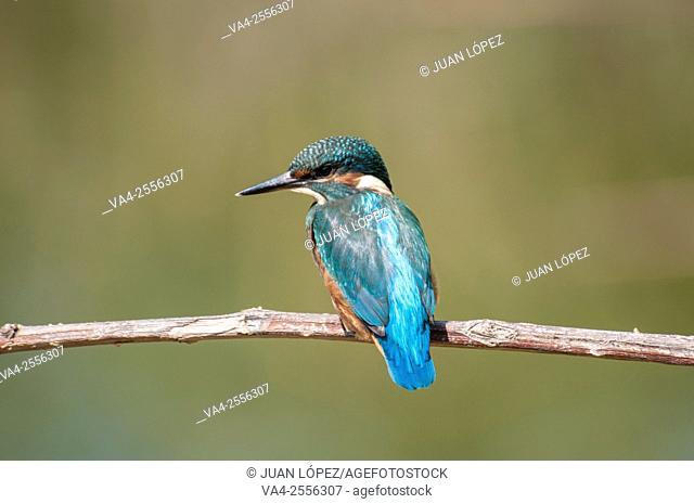 Kingfisher Alcedo atthis, male. Flix, Tarragona province, Catalonia, Spain