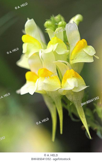 common toadflax, yellow toadflax, ramsted, butter and eggs (Linaria vulgaris), inflorescence, Germany, Baden-Wuerttemberg
