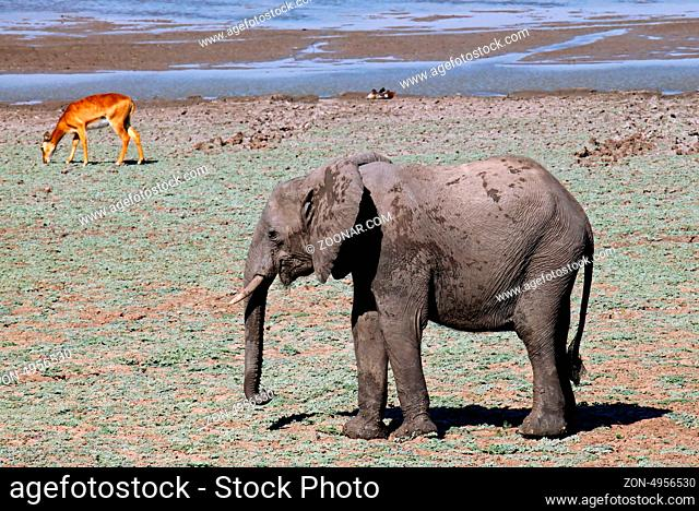 Elefant im South Luangwa Nationalpark, Sambia; Loxodonta africana; Elephant at South Luangwa National Park, Zambia