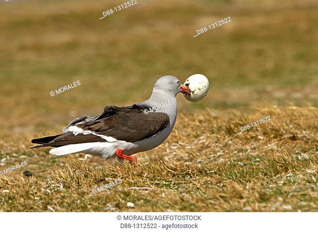 Falkland Islands , Sea LIon island , Dolphin Gull  Larus scoresbii  with an egg of Gentoo Penguin , Order:Charadriiformes family : laridae