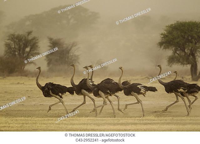 Ostrich (Struthio camelus). Running females as a sandstorm approaches. Kalahari Desert, Kgalagadi Transfrontier Park, South Africa
