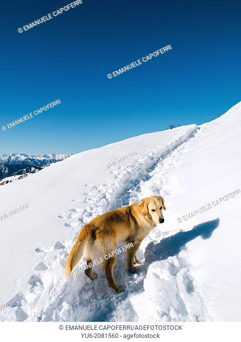 Golden Retriever in the snow in the mountains, Mottarone, Piedmont, Italy