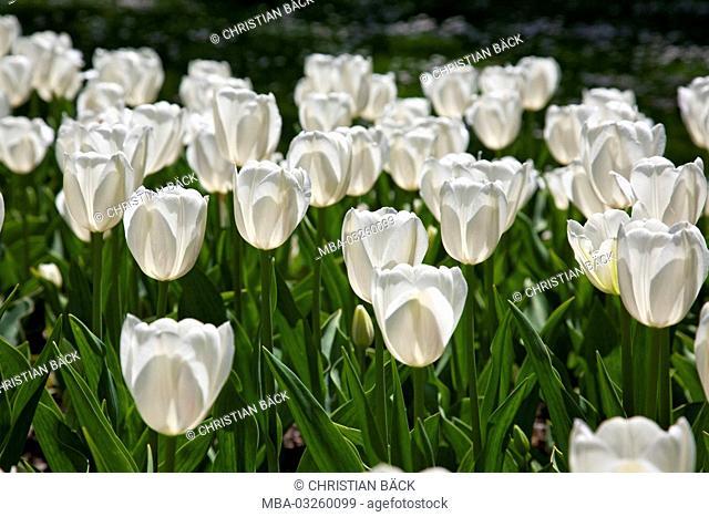 Tulips in the Michael Ende park, Germany, Bavarians, Werdenfels, Garmisch-Partenkirchen